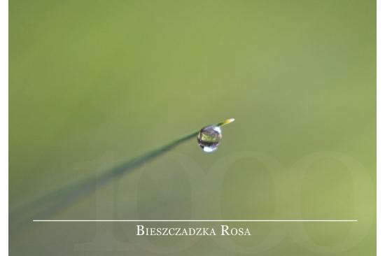 Bieszczadzka Rosa